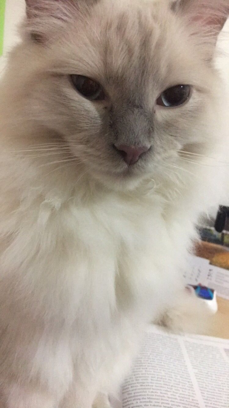 9 Month Old Ragdoll Kitten Lilac Point Floof Ragdoll Kitten Ragdoll Cat Cats And Kittens