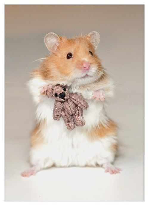 6 Types Of Most Popular Hamster Breeds Cute Hamsters Cute