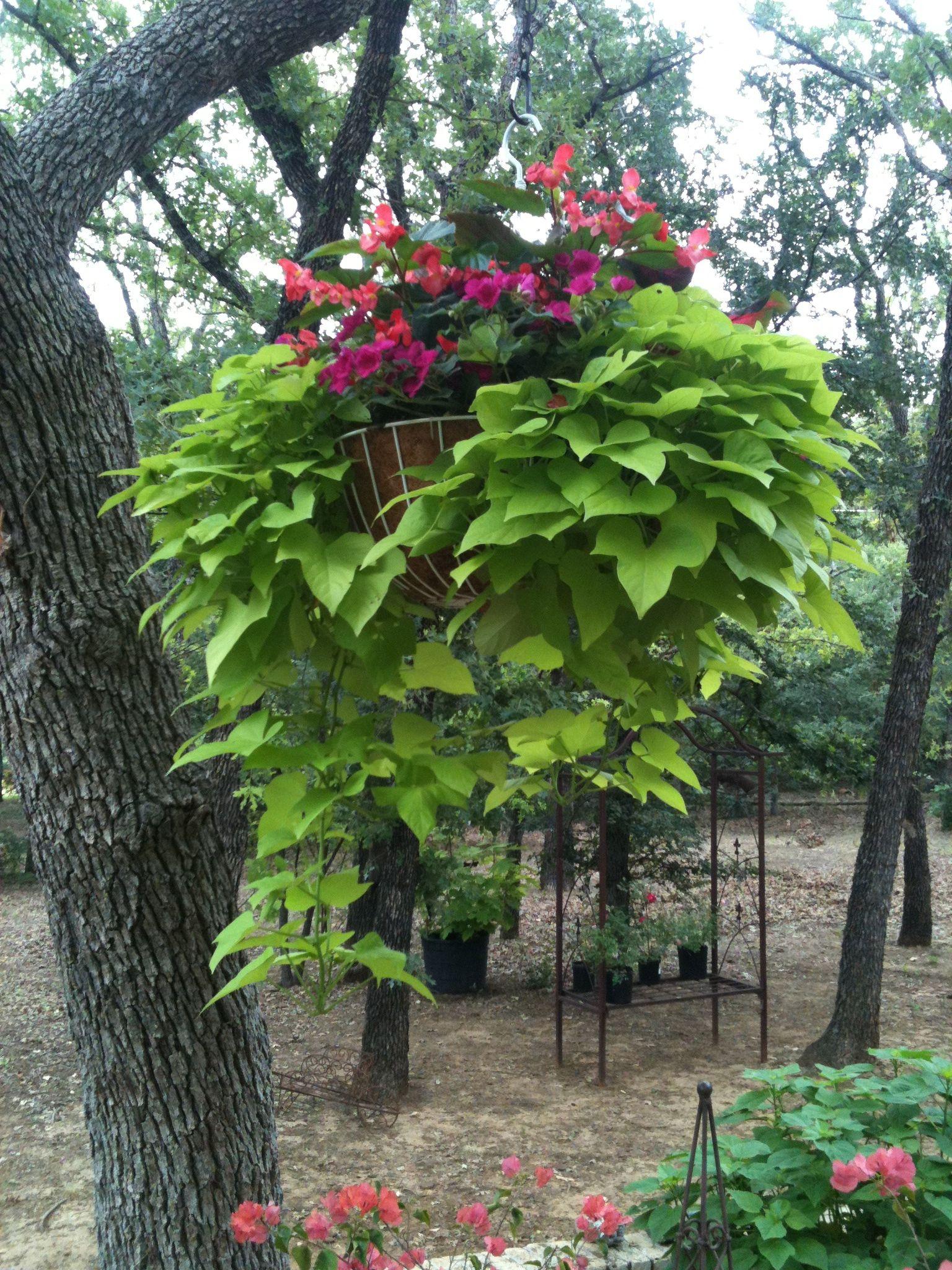Angel Wing Begonia Impatients Amp Sweet Potato Vine Hanging