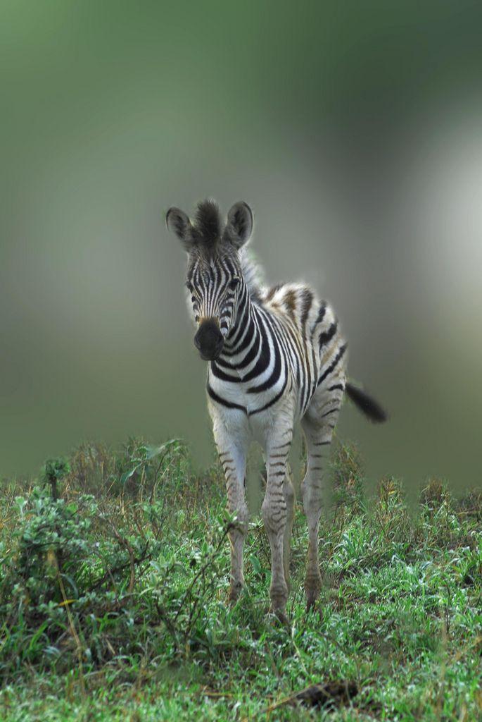 Zebra (by Mel Gray)