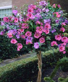 Azurri Blue Satin Rose Of Sharon Hibiscus Syriacus Garden