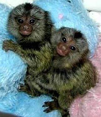 Baby Pygmy Marmosets Omg Tooo Cute Marmoset Monkey Cute Animals Marmoset Monkey For Sale