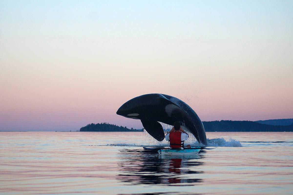 Orca Breaches Just Metres Away From Kayaker In Amazing Animal Experience Orca Animal Experiences Animals