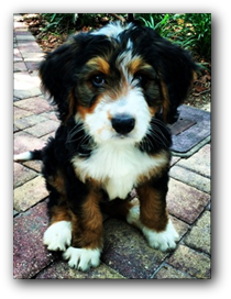 bernedoodle puppies for sale near me