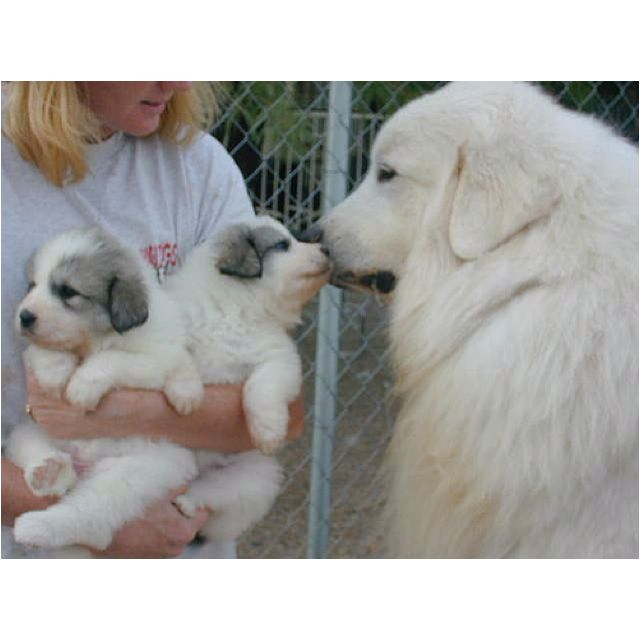 Great Pyrenees Omg Look At Those Puppies Great Pyrenees Dog