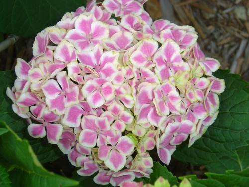 las variedades de hortensias y sus cuidados informacin
