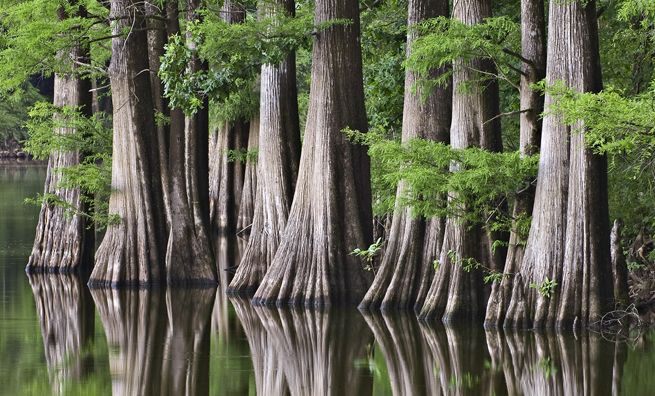 Cypress trees, Escronges Lake in the White River National Wildlife Refuge