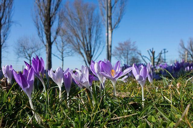 Gratis Obraz Na Pixabay Krokus Wiosna Kwiat Kwiaty Laka
