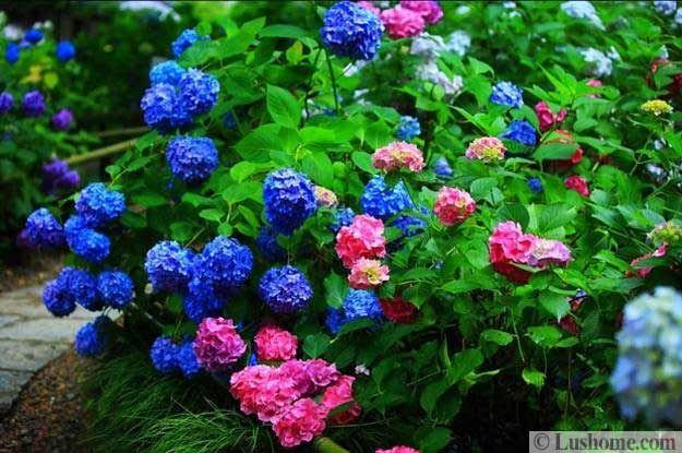 backyard designs with hydrangeas, flowering plants