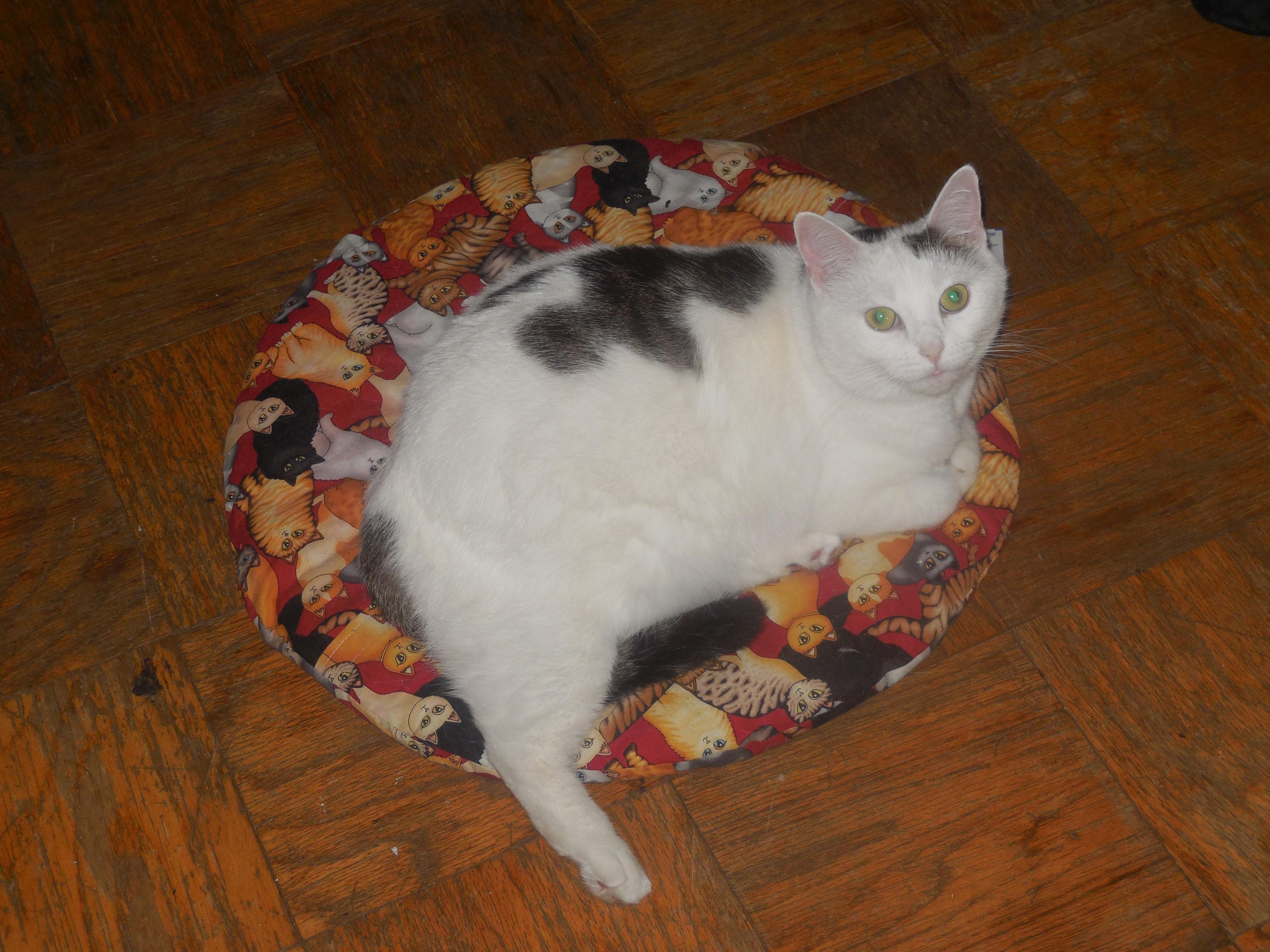 Is Bonnie A Turkish Van A Regular White Cat With A Few Black Spots Or Part Turkish Van Http Ift Tt 2pq5tou White Cat Turkish Van Cats