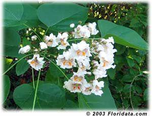 southern catalpa flowers