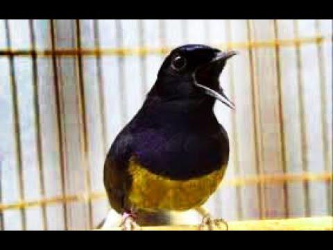 Pin By Bner On Masteran Murai Batu In 2021 Animals Bird