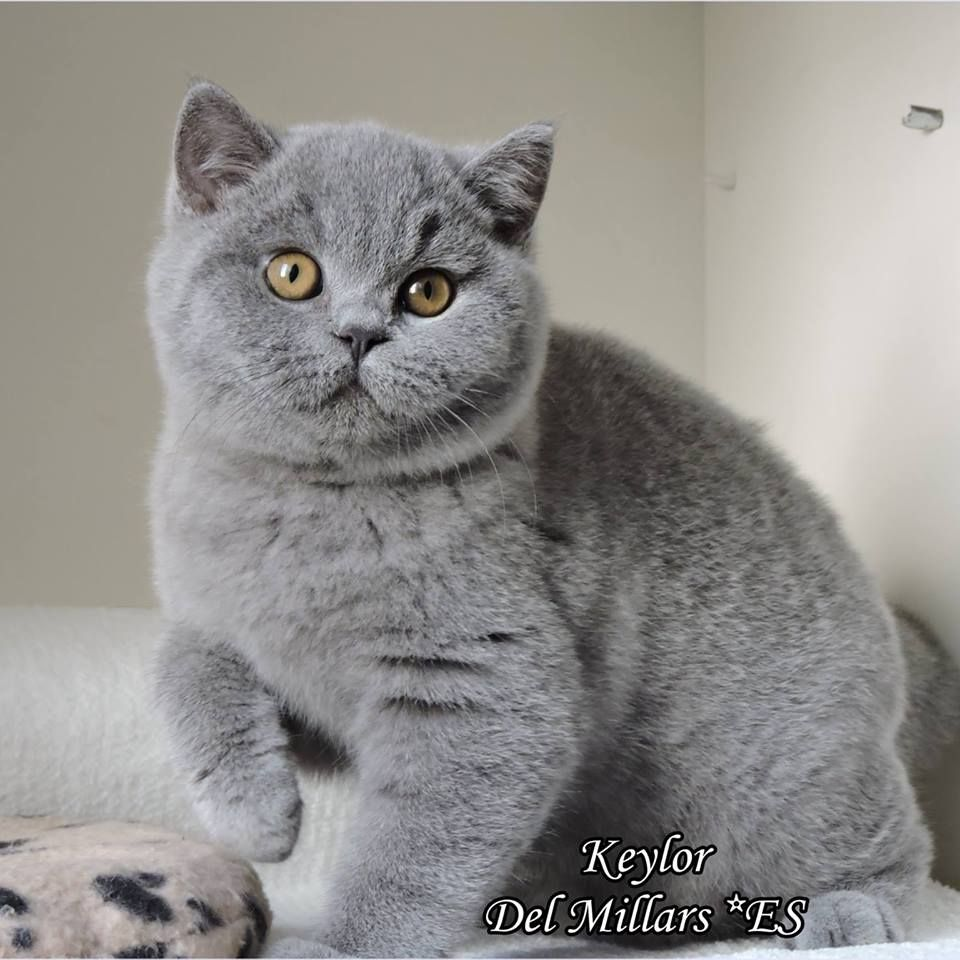 I Don T Do Rising And Shining British Shorthair Kittens