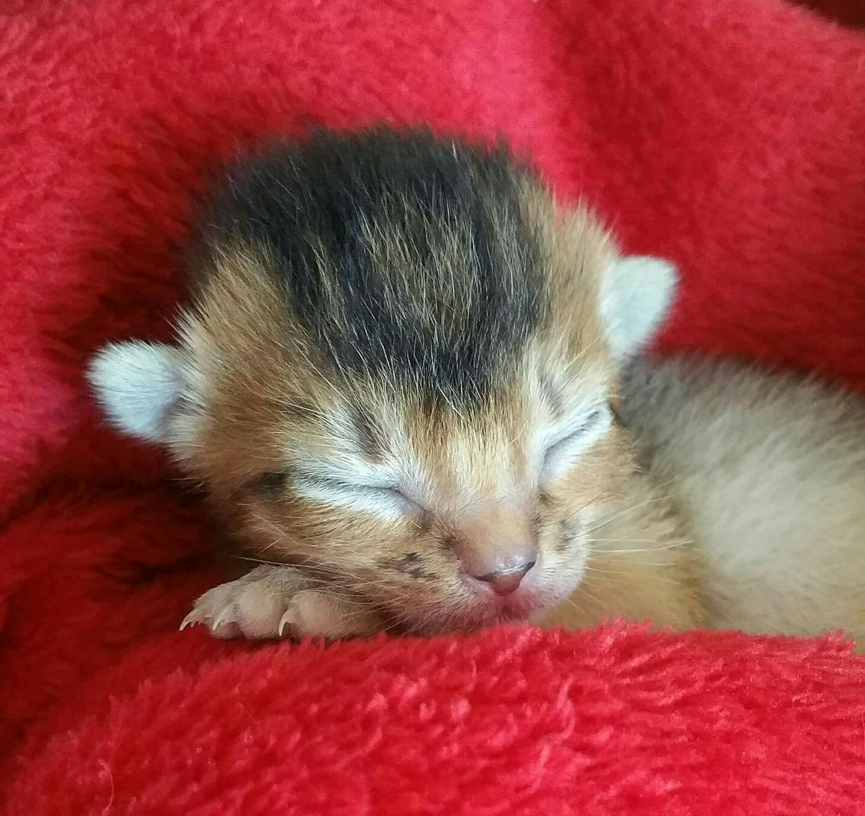 1 Week Old Ruddy Abyssinian Girl Kitten Stevie Nicks Photo By