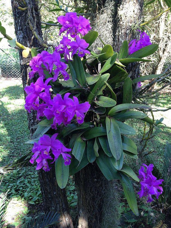 Cattleya Unknown Deckeri Brechts Orchid Plants Cattleya Orchid Flower Garden