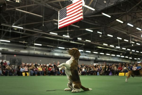 Beagle Thunder on Westminster Kennel Club dog show.  Mike Segar/Yahoo Photos.