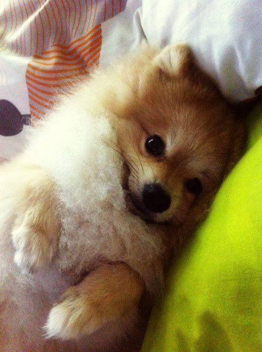 Amazing Pomeranian Brown Adorable Dog - cbee69f4473bfd1c9daff3ae5f077377  2018_292085  .jpg