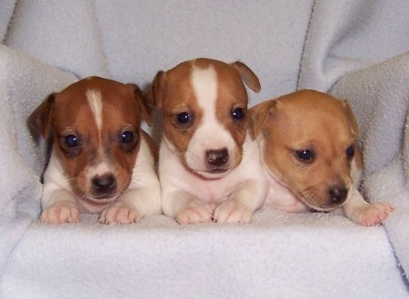 Jack Russell Puppies For Sale Jack Russell Terriers For