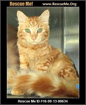 Handsome Goldie is a male Maine Coon whose time is running out, Needs a home in the next few days. Sept 16, 2016 Rockingham NC 910 995 8458