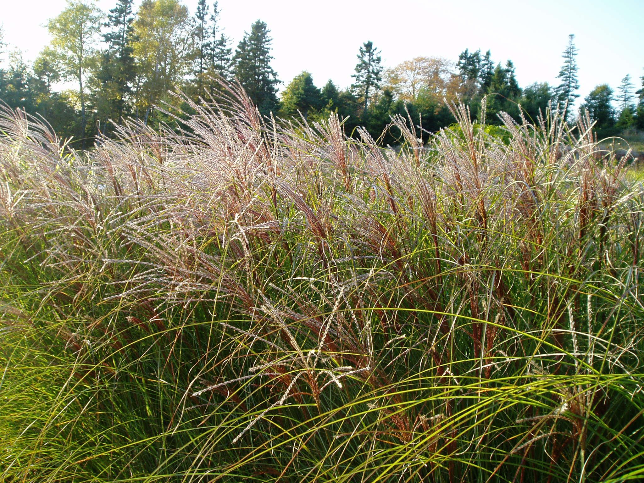 Buy blue dune lyme grass in nw arkansas - Miscanthus Sinensis Sarabande Grows 4 1 2 5 Ft Tall A Warm Season Grass And Very Similar To Gracillimus Except A Little Shorter And It Blo