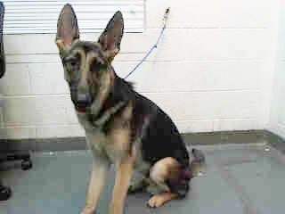 SAFE --- SARGE (A1672062)I am a male brown and black German Shepherd Dog.  The shelter staff think I am about 1 year old.  I was found as a stray and I may be available for adoption on 01/15/2015. — Miami Dade County Animal Services. https://www.facebook.com/urgentdogsofmiami/photos/pb.191859757515102.-2207520000.1421013211./907828519251552/?type=3&theater