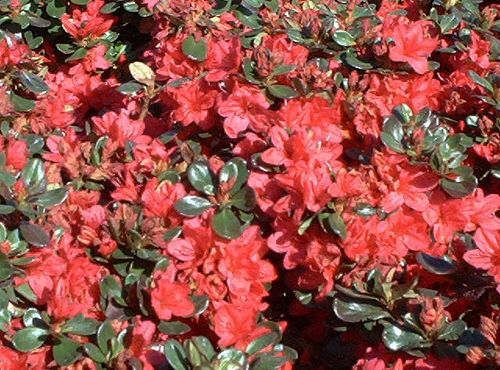 Are the Best Flowering Shrubs To Plant in a Yard? Pictures of Flowering Shrubs: Azaleas: Azaleas are enormously popular choices for spring-blooming shrubs. But they hold much more in common with rhododendrons than just that fact.Pictures of Flowering Shrubs: Azaleas: Azaleas are enormously popular choices for spring-blooming shrubs. But they hold mu...