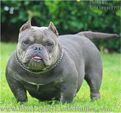 1443077094 Png 472 443 Bully Breeds American Bully Beautiful
