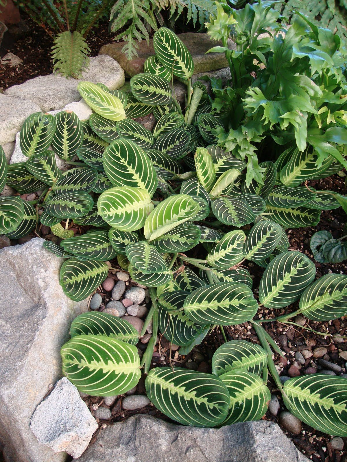 Common Name Prayer Plant