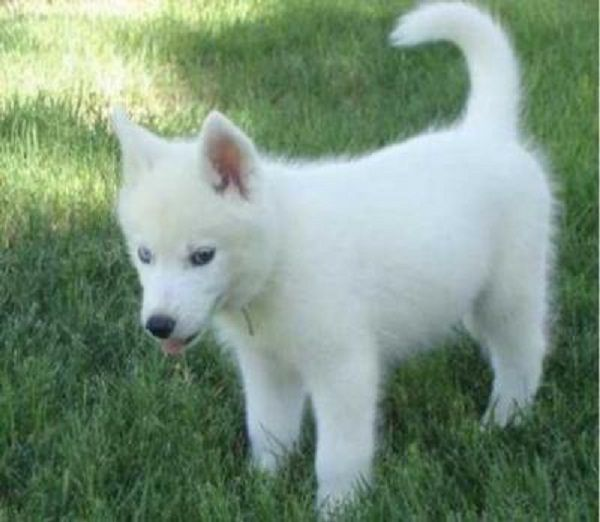 White Husky Puppies With Blue Eyes For Sale Zoe Fans Blog White Husky Puppy White Husky White Siberian Husky