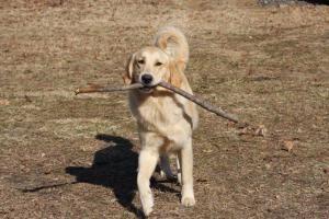 Adopt Jasper On Golden Retriever Rescue Dogs Golden Retriever Dogs