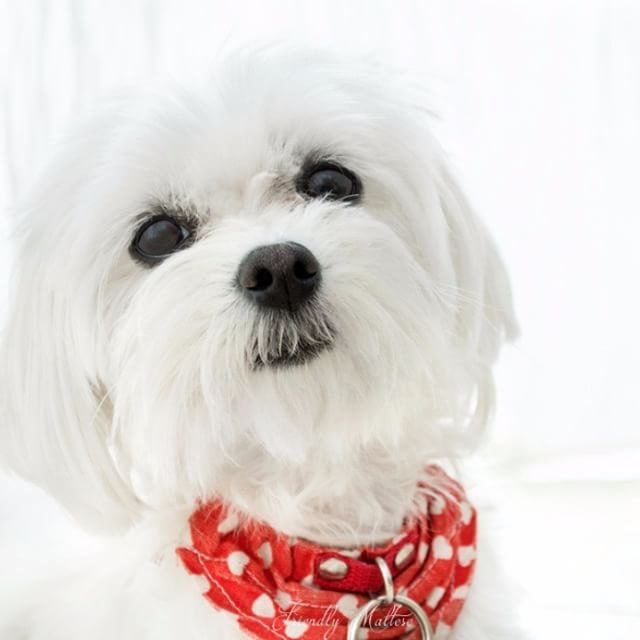 Small Thoroughbred Maltese With Cutted Hair😍😍😍