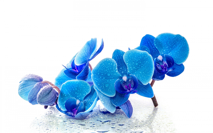 Download Wallpapers Blue Orchids Tropical Flowers Blue Flowers Blue Phalaenopsis Orchids Besthqwallpapers Com Blue Orchids Orchids Tropical Flowers