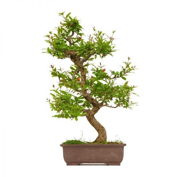 vente de bonsai punica granatum specimen 60 cm sankaly bonsa vente achat en ligne de bonsai. Black Bedroom Furniture Sets. Home Design Ideas
