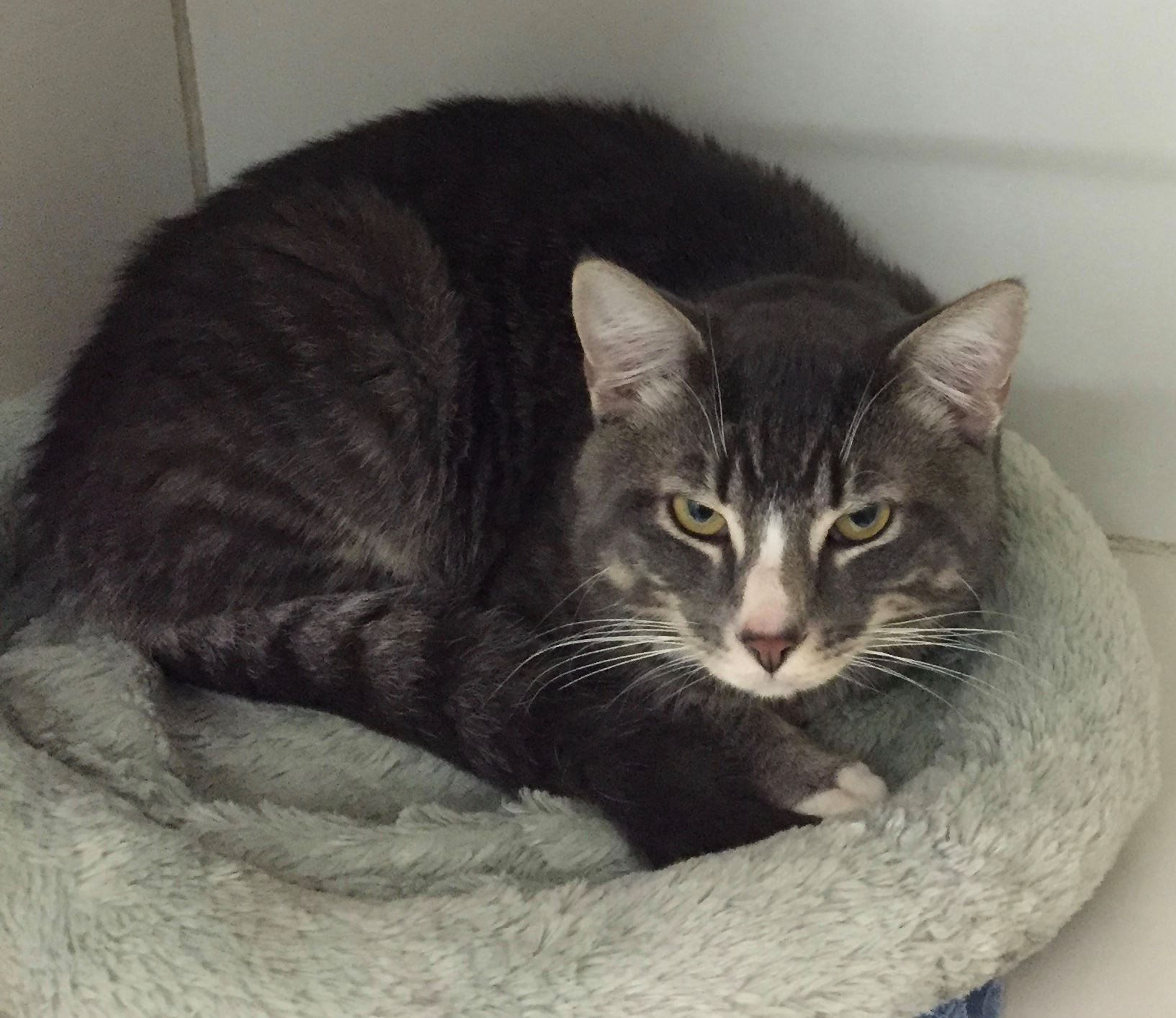 Found Cat On Mansfield City Rd In Friends Of Mansfield Animal Shelter And Mansfield Animal Control Ct Grey Tabby Cats Tabby Cat Found Cat