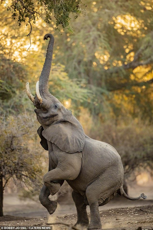 Photographer Bobby-Jo Vial, 36, captured the moment the majestic African elephant kicked b...