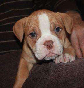 One Female Olde English Bulldogge Puppy Named Cricket