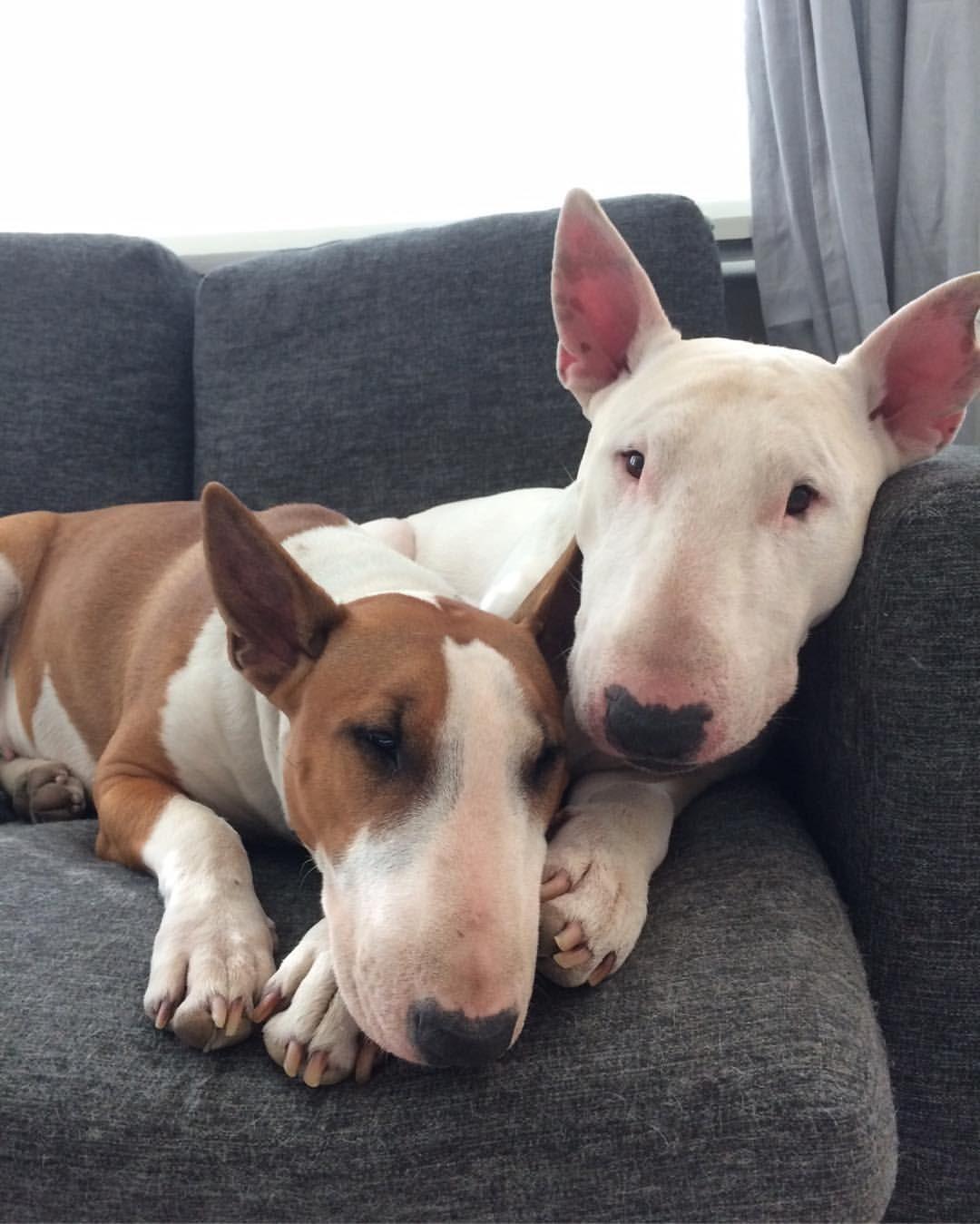 Cuties! Mini bull terriers, Bull terrier, Cute dogs breeds