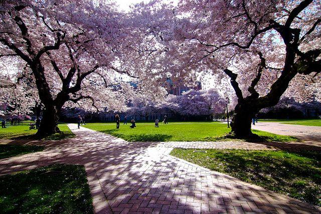 Cherry Blossom Uw Beautiful Places Cherry Blossom Blossom