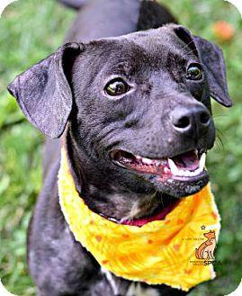 Roanoke Va Dachshund Mix Meet Suki A Dog For Adoption Http