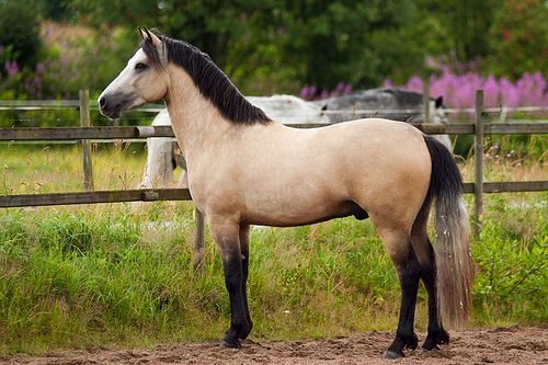 Dunn connemara pony - would love one of these for Charlotte