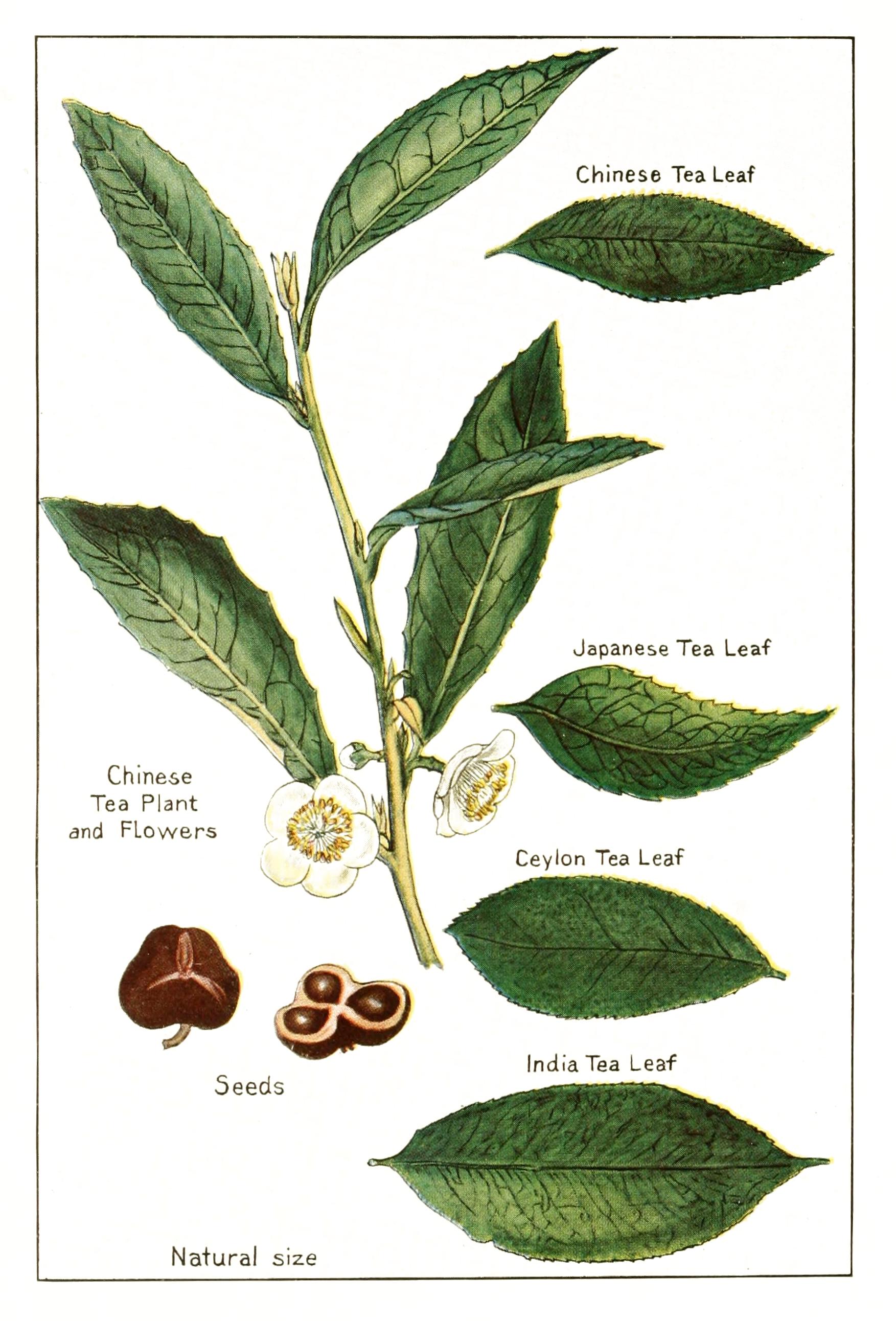 Assam Tea Tree Plant