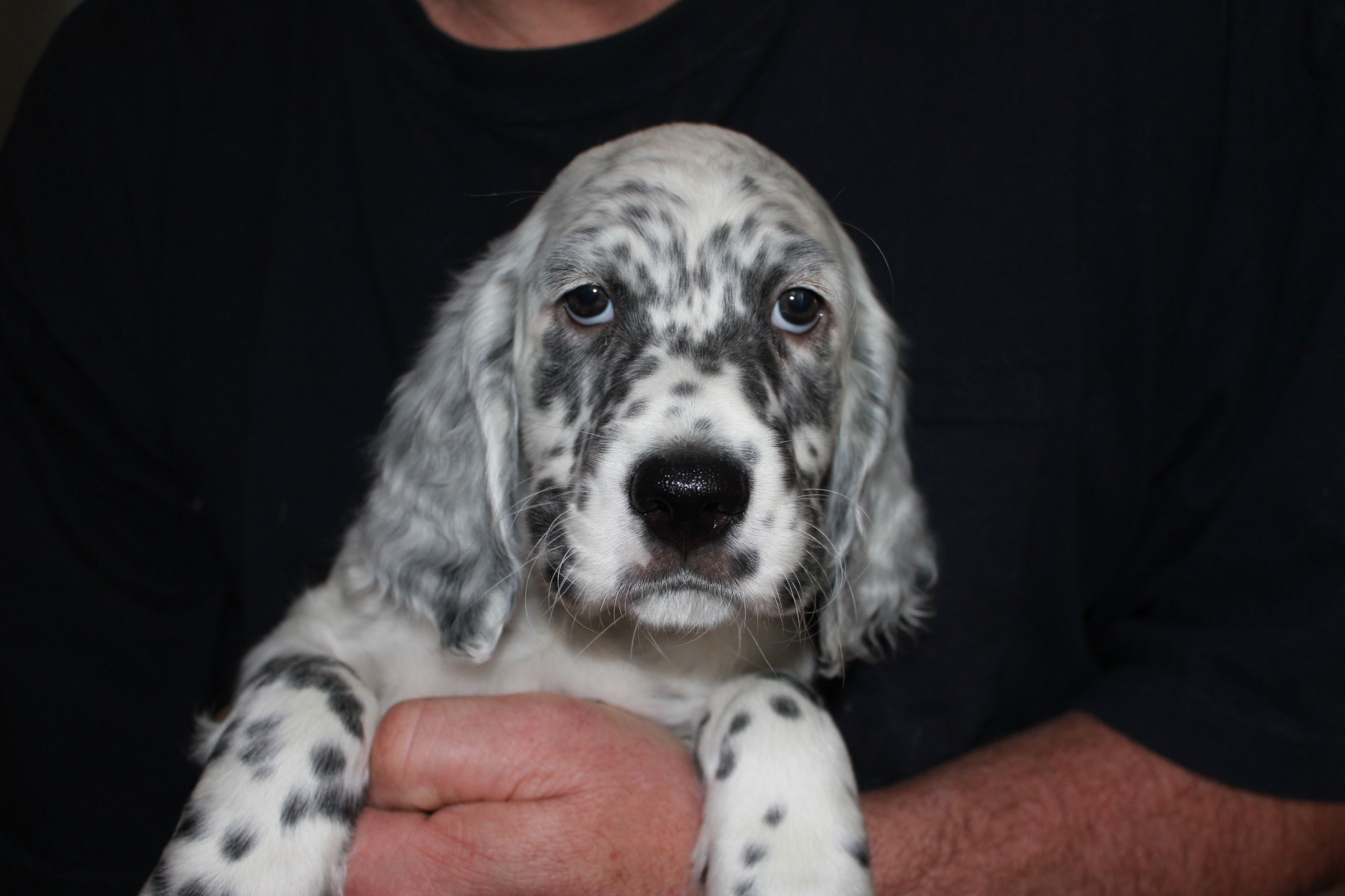 Darling Blue English Setter Hunting dogs, Dogs, Hunting