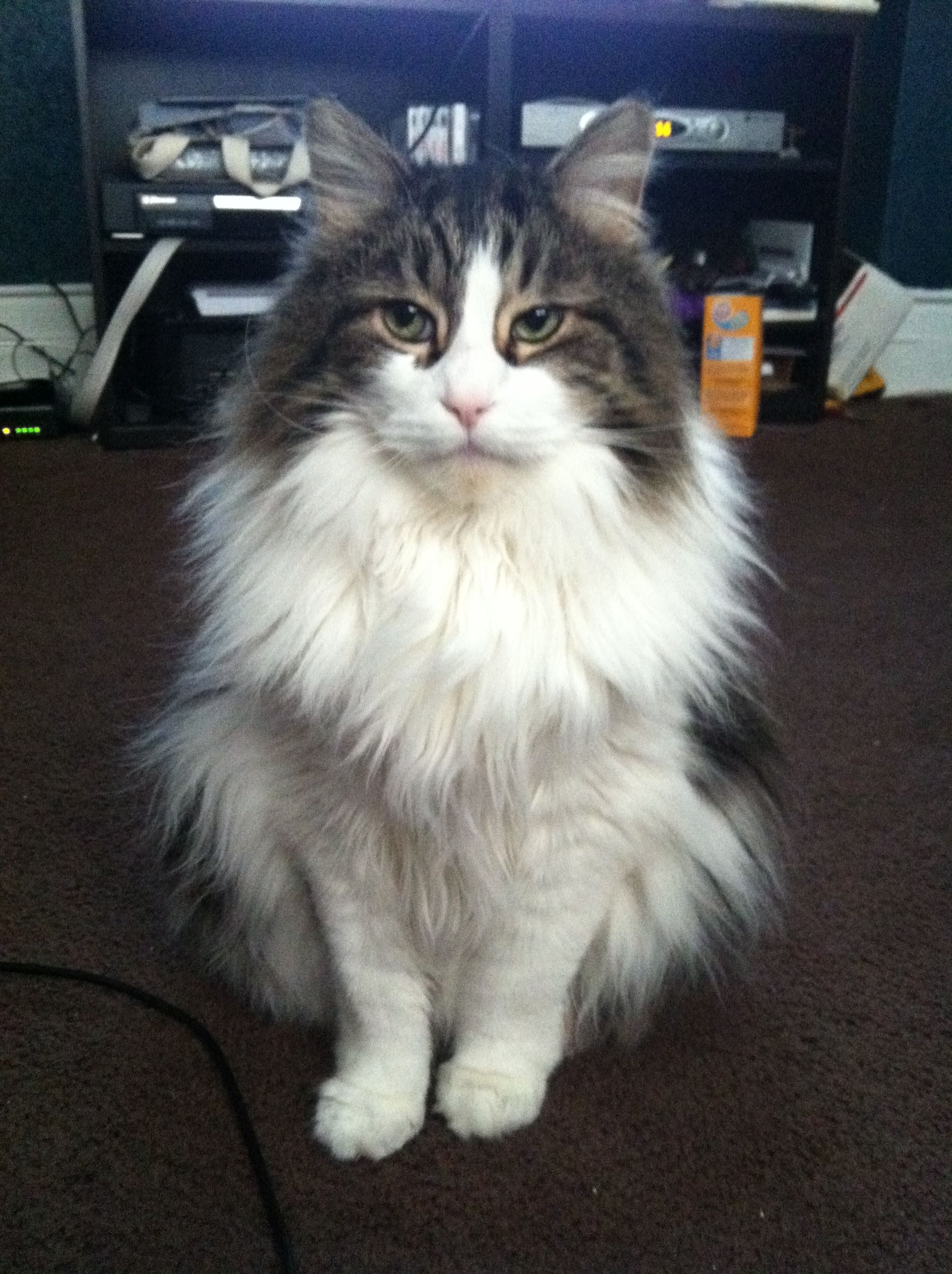 Pin On Main Coon Cats