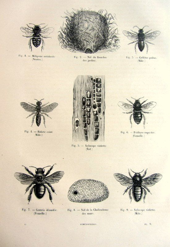 Antique hymenoptera engraving original vintage by LyraNebulaPrints, $24.99