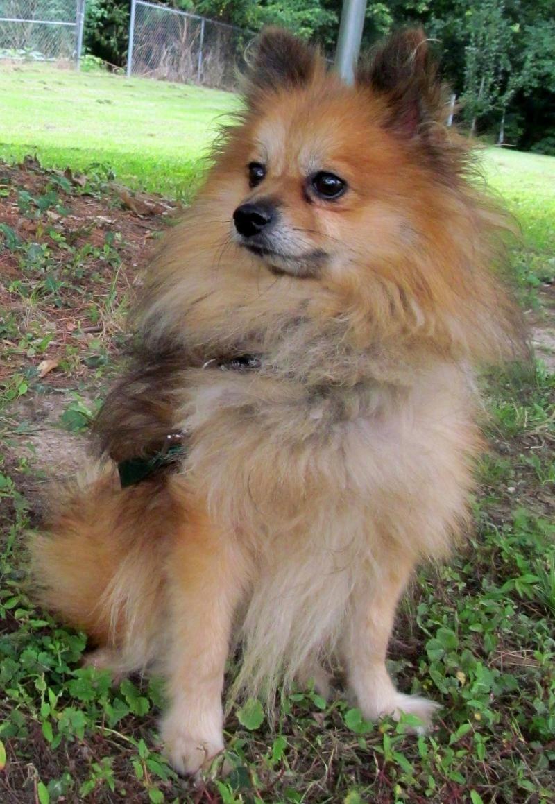 Pomeranian puppies for adoption in illinois