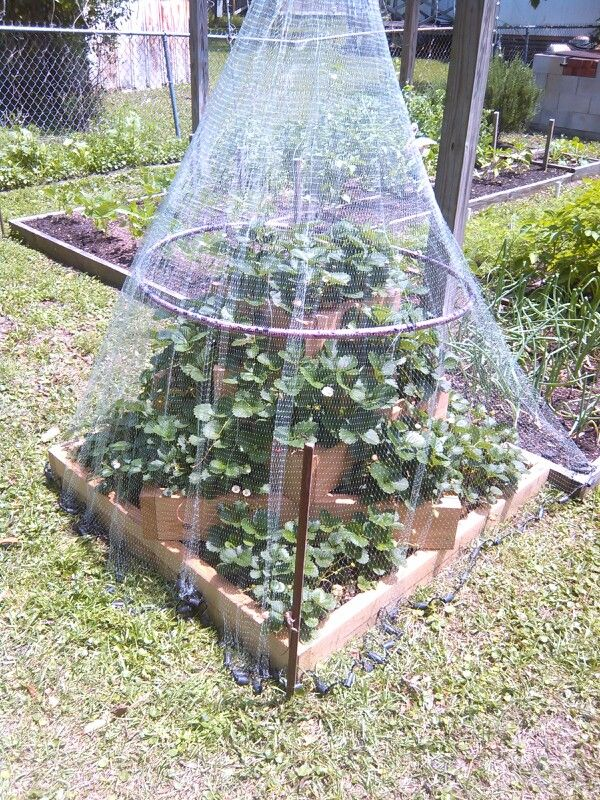 Strawberry Planter With Old Cast Net To Keep Birds Out Homemade