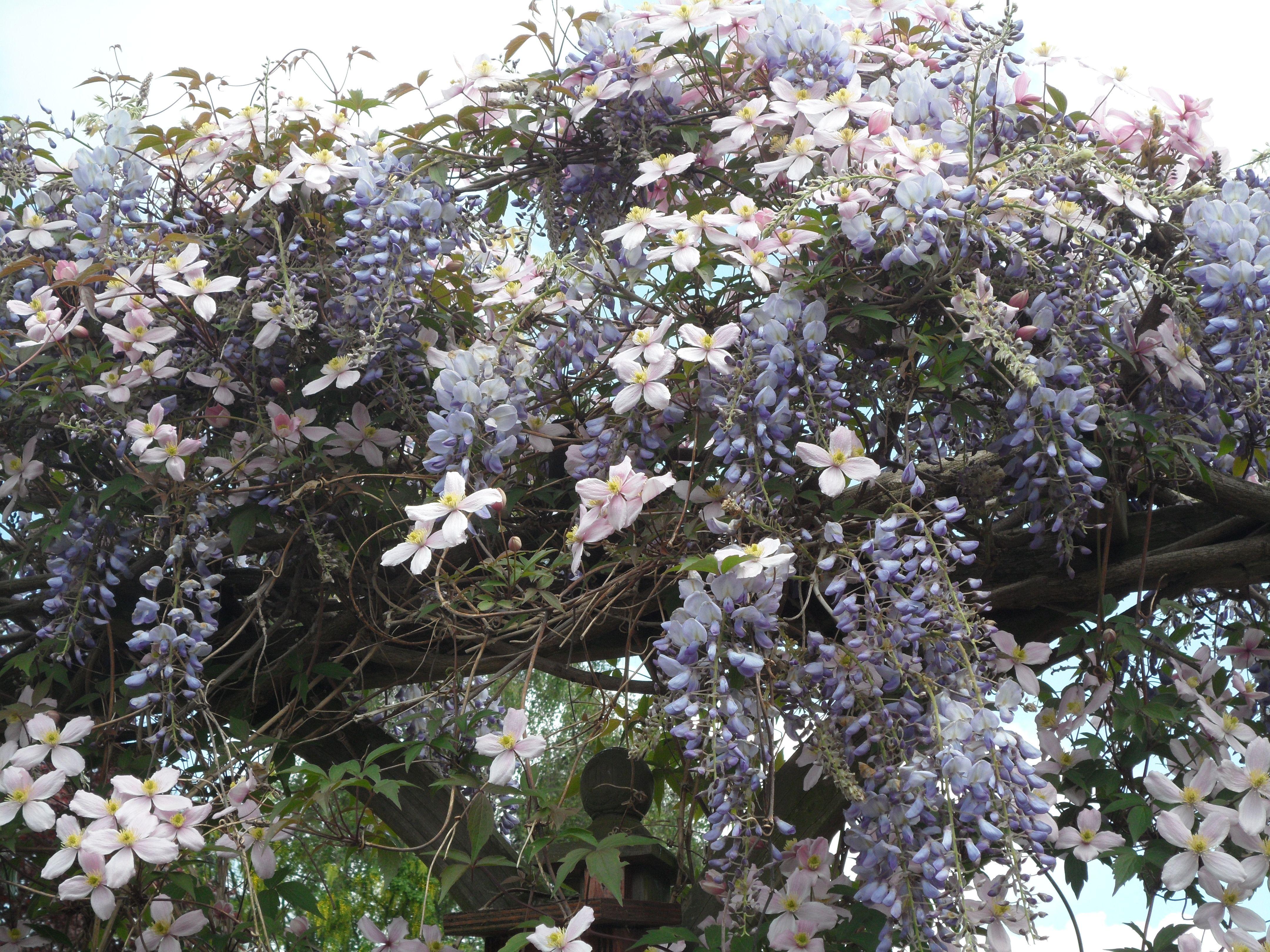 Blauwe regen in combinatie met een rose clematis. Een ...