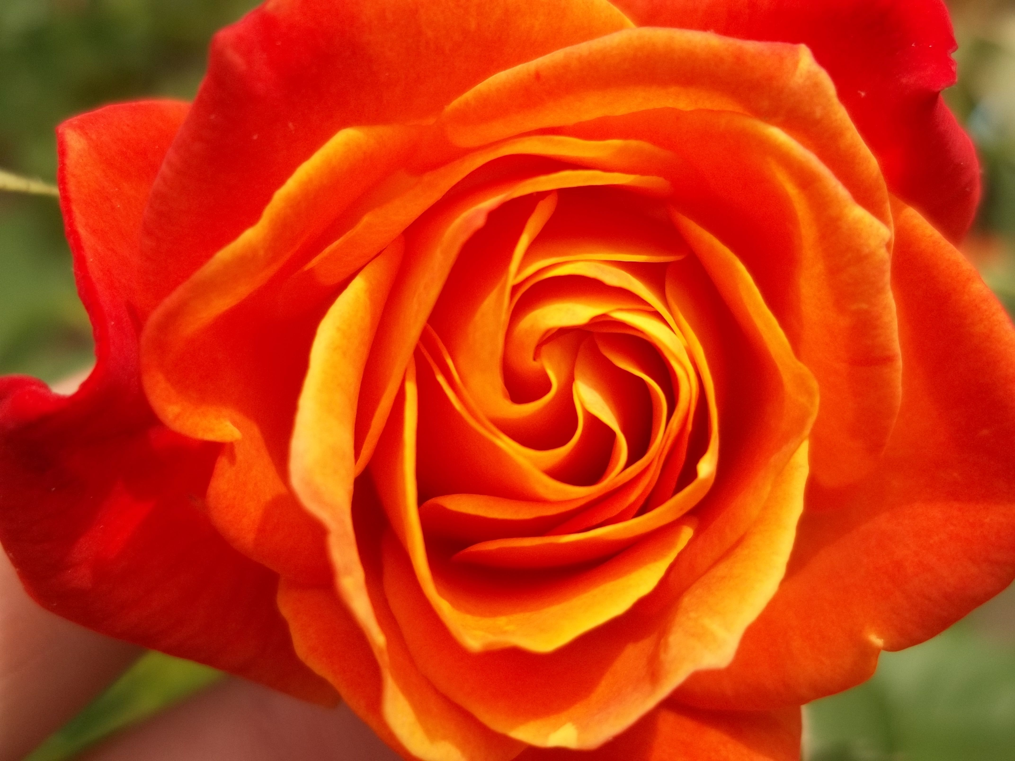 How to keep your rose bush blooming spring summer and fall