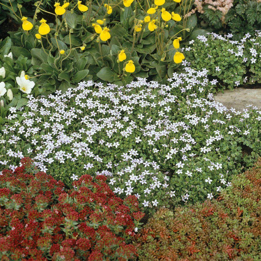 Isotoma Bluhender Bodendecker Pflanzen Bodendecker Blumenbeet