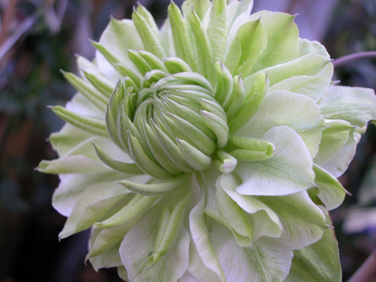 Peppermint clematis flowering plants pinterest clematis